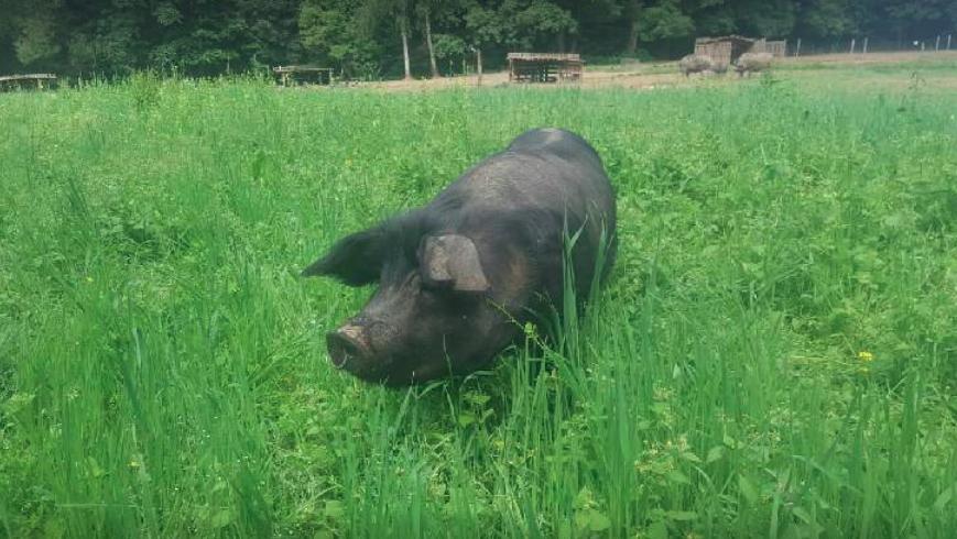 un cochon heureux, ça fait un jambon délicieux